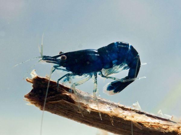 Blue Sapphire Zwerggarnele