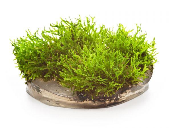 Dennerle Coral Moss - Riccardia chamedryfolia, inVitro