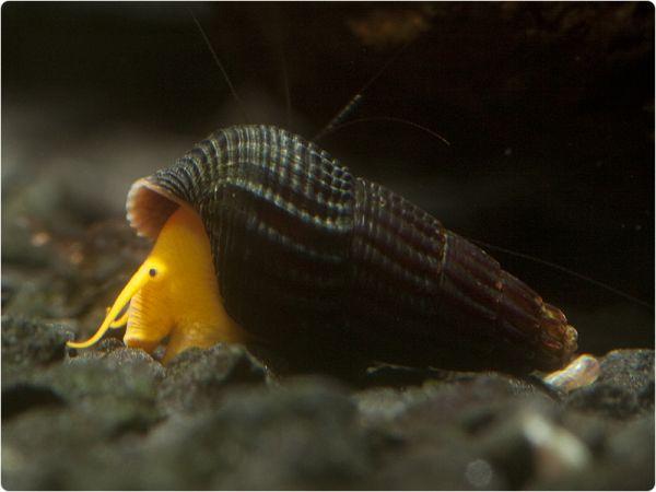 Orange Rocksnail - aquarium-bred