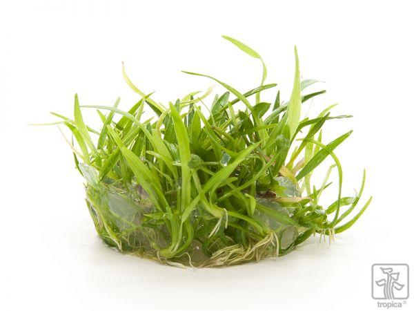 """Echinodorus tenellus """"Green"""" 1-2-Grow!"""