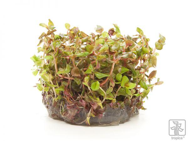 Rotala macrandra 1-2-Grow!