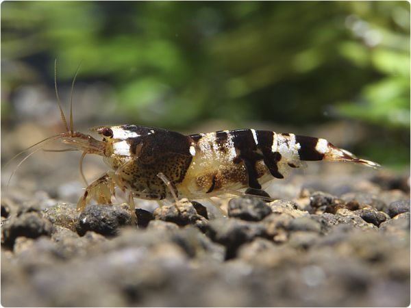 Black Bee Shrimp - K0