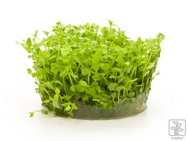 "Micranthemum ""Monte Carlo"" 1-2-Grow!"