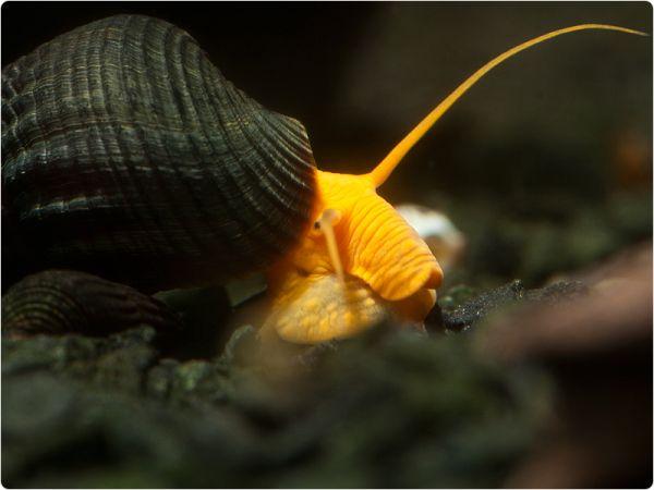 Orange Rocksnail
