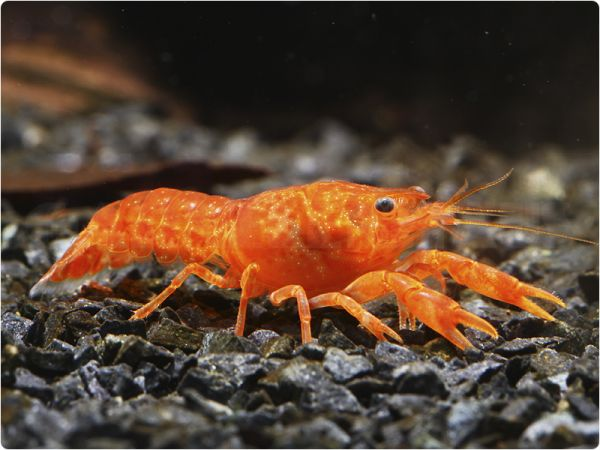 Orange Dwarf Crayfish (CPO) - pair