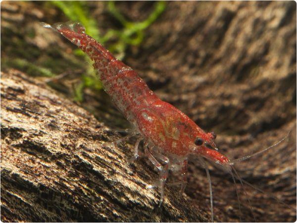 Red Fire (Cherry) shrimp