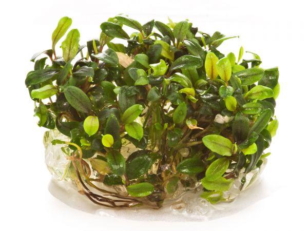 "Dennerle Bucephalandra sp. ""Mini Needle Leaf"", inVitro"