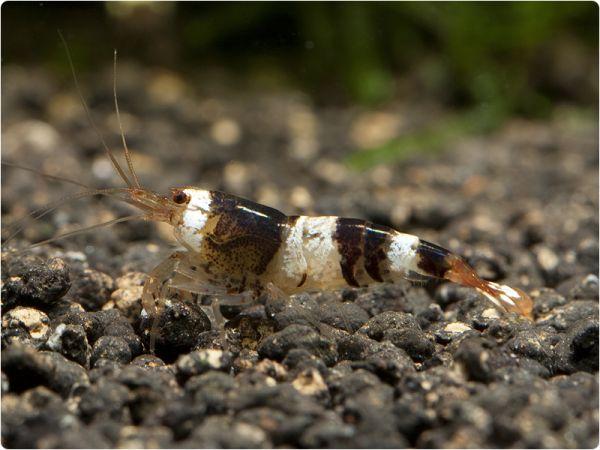 Black Bee shrimp - K2