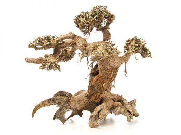 Dragon Tree L