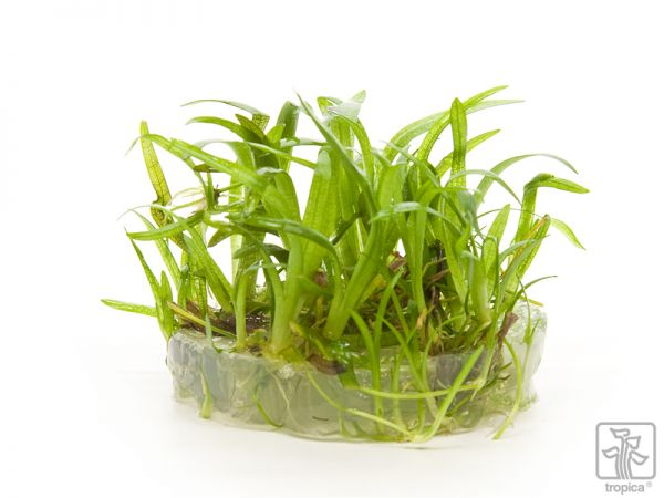 Sagittaria subulata 1-2-Grow!